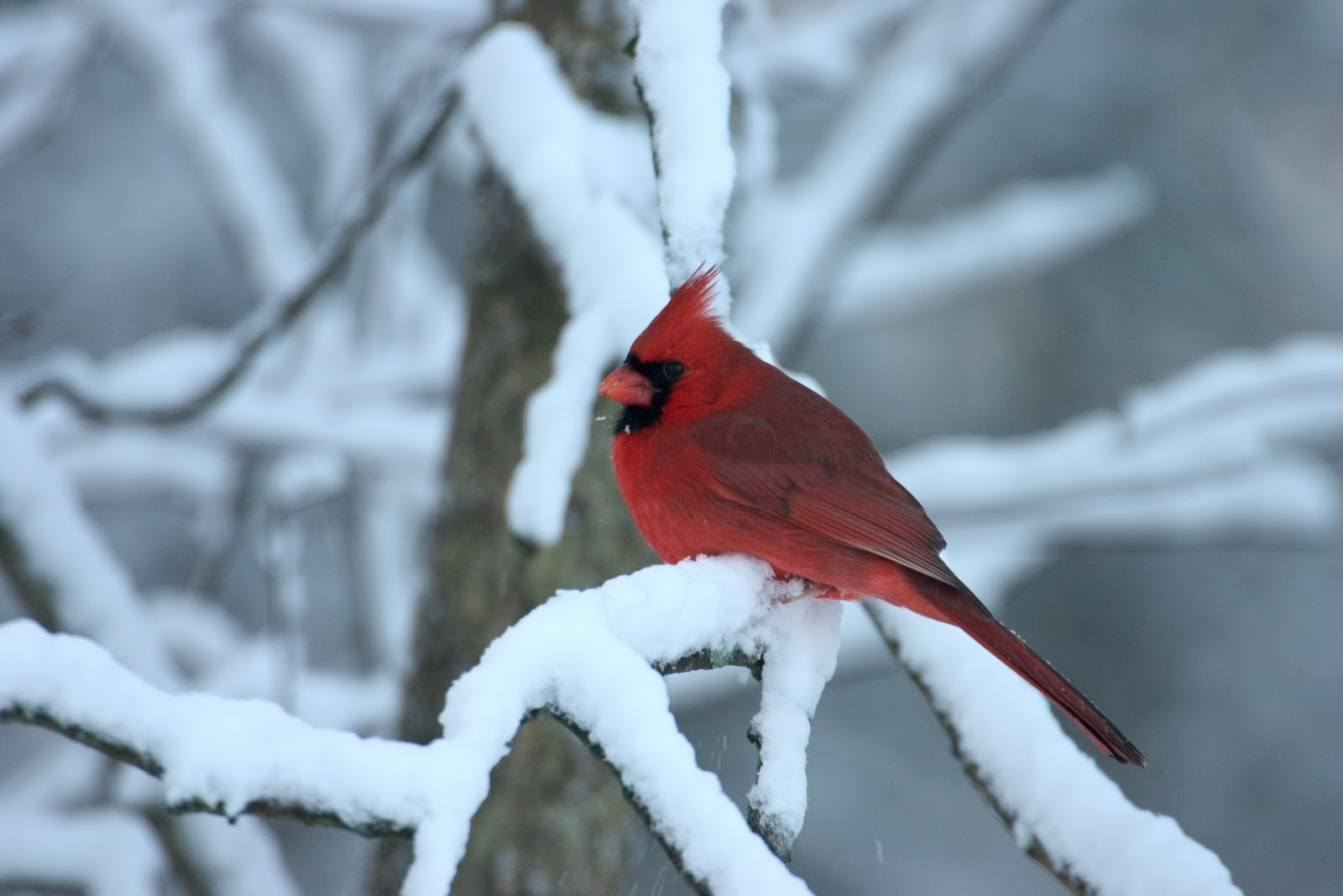 Science nature explorers - Pictures of cardinals in snow ...